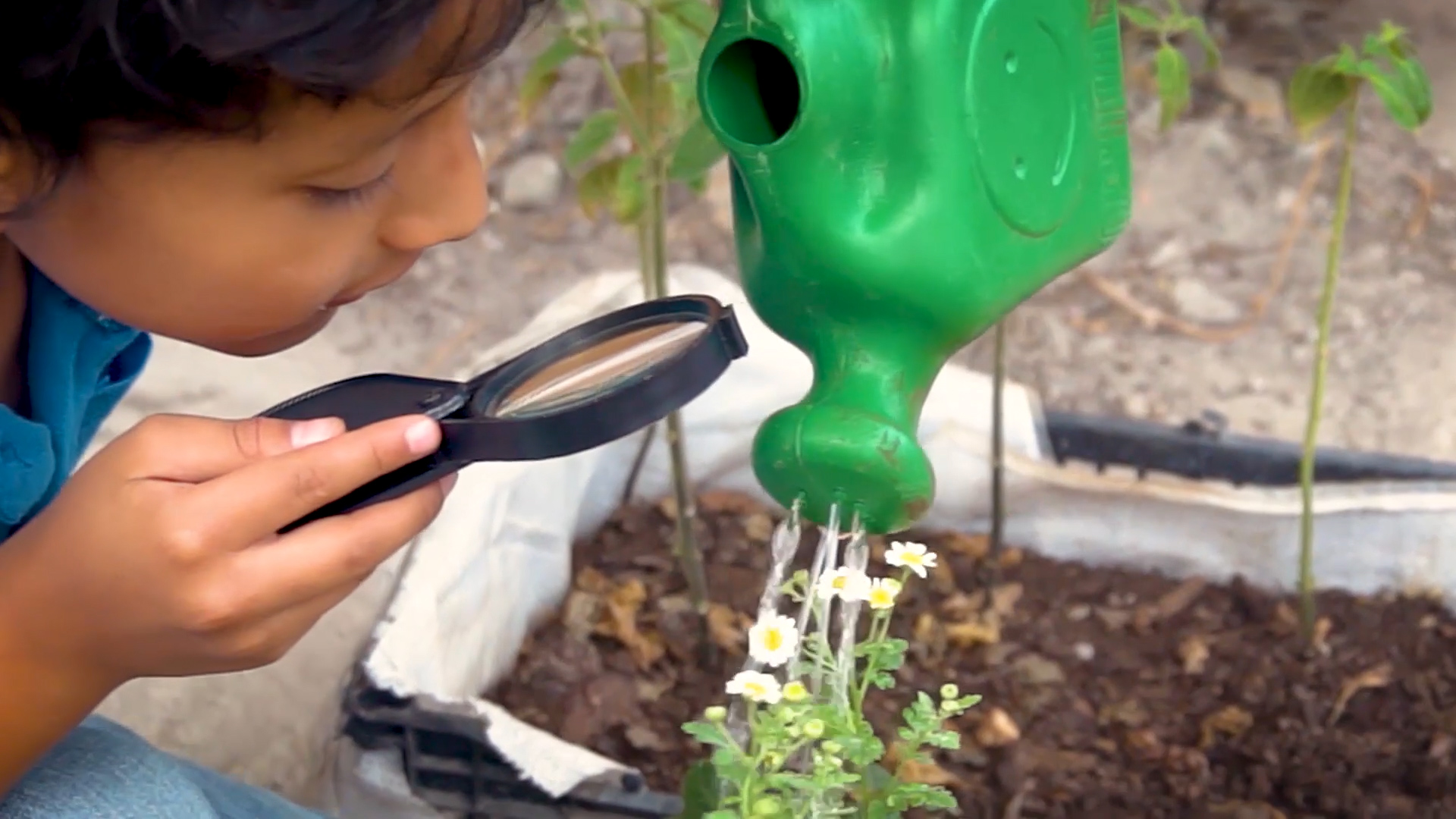 Child examines plant as he waters it